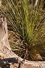 Grass Tree #3 by Deborah McGrath