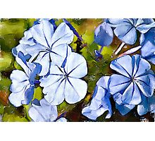 Blue Plumbago watercolour Photographic Print