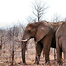 THE AFRICAN ELEPHANT – Loxodonta Africana - IN PROFILE, REAR AND FRONT! by Magriet Meintjes