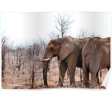 THE AFRICAN ELEPHANT – Loxodonta Africana - IN PROFILE, REAR AND FRONT! Poster