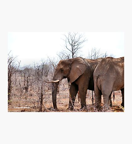 THE AFRICAN ELEPHANT – Loxodonta Africana - IN PROFILE, REAR AND FRONT! Photographic Print