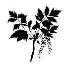 Xanthorrhiza Apiifolia by garts