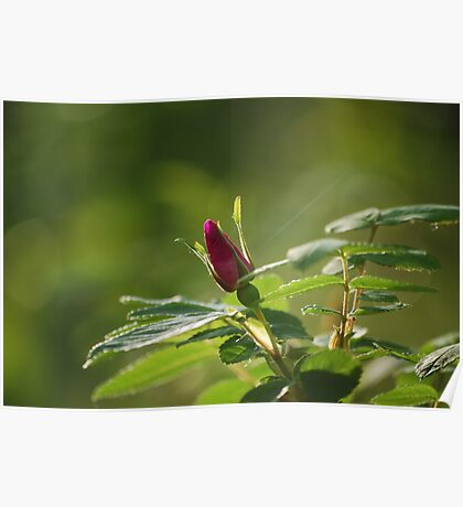 Rosebud - Wildflowers of Alberta Poster