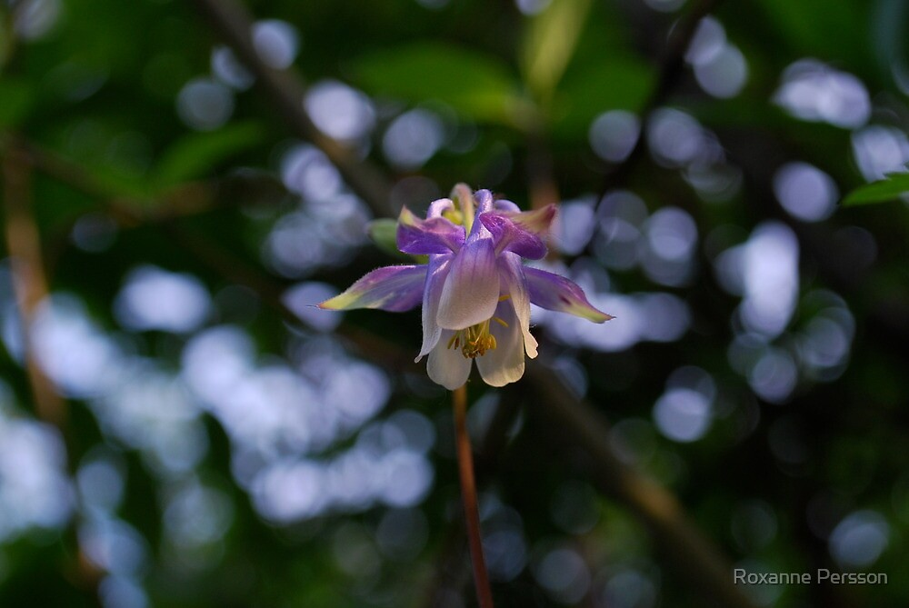 Blue Columbine - Wildflowers of Alberta by Roxanne Persson