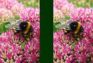 Bumble Bee on the Sedum by Artberry