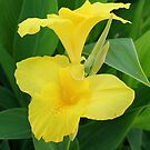 Yellow Canna Lily by taiche