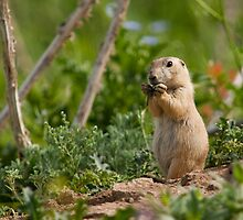Prairie Dog by Jay Ryser