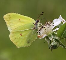 Male Brimstone Butterfly by Neil Ludford