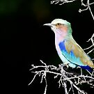 Lilac-Breasted Roller by Yves Roumazeilles