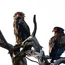 Bateleur Eagles by Yves Roumazeilles