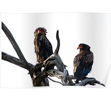 Bateleur Eagles Poster