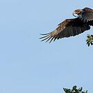 Bateleur Eagle by Yves Roumazeilles