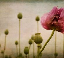 Depth of (Poppy-) Field by Priska Wettstein
