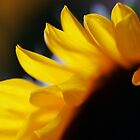 Flower of the Sun ... by InfotronTof