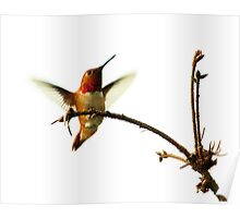 Male Rufous Hummingbird Comes to His Favourite Perch Poster