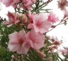 Single Pink Oleander 8 by Christopher Johnson
