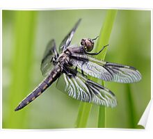 Young Spotted Marsh Dragon Poster