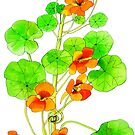 Nasturtiums by marlene veronique holdsworth