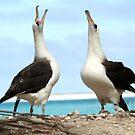 Dancing Laysan Albatrosses by Gina Ruttle  (Whalegeek)