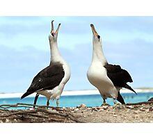 Dancing Laysan Albatrosses Photographic Print