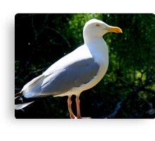 Seagull waiting. Canvas Print