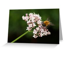 Honey bee on valerian flower Greeting Card
