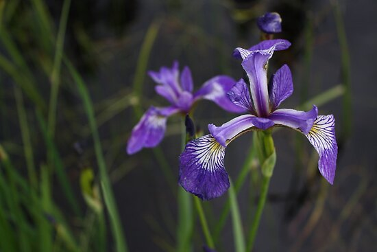Blue Flag Iris,  Timmins Ont.Canada by eoconnor
