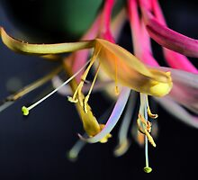 Gold Flame - Honeysuckle by T.J. Martin