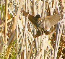Female Redwing Blackbird by Barrie Daniels