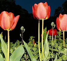Tulips by megsphotos