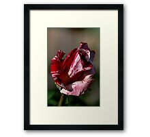 Going to bloom - Two Tone Rose Framed Print