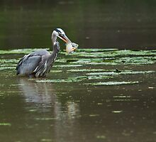 Great Blue Heron with fish by (Tallow) Dave  Van de Laar