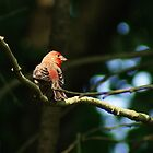 Red House Finch by Margie Avellino