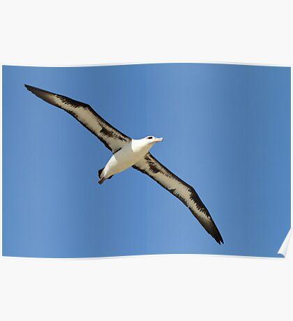 Gliding Laysan Albatross Poster