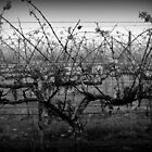 Winter Vineyard, Near Carlyle Cemetery, Rutherglen by Georgina James