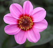 Nature's Vivid Colour - A Pink Flower by Sophie Lapsley