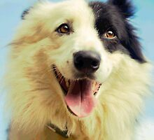 Bella the Border Collie by eagleyeimages