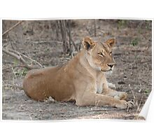 Lioness in winter  Poster