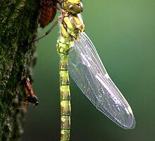 Dragonfly & Exoskeleton by jennimarshall