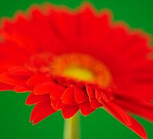Red Gerbera by Craig Joiner
