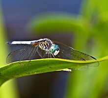 Blue  Dasher by Kathy Weaver