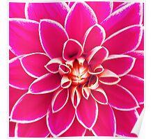 Bright girly pink white dahlia flower  Poster