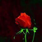 Red Rose by Igor Shrayer