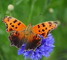 Comma Butterfly by marilynwood