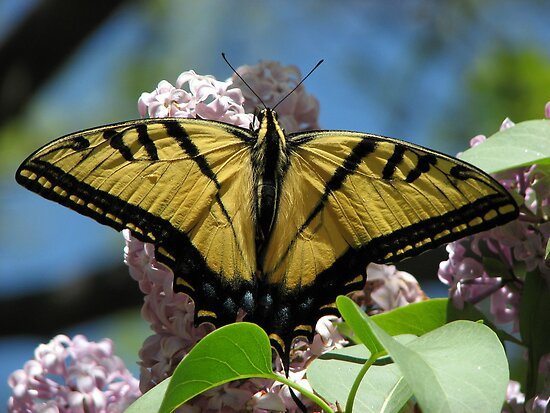 Swallowtail 2 by autumngirl