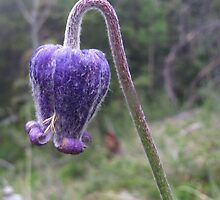 Rocky Mountain Wildflower - Hairy Clematis by Bill Hendricks