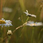 Daisy Field by amaniacadored
