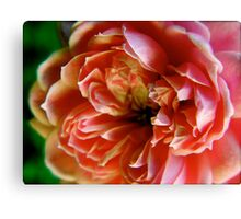 Pink rose with white tipped petals Canvas Print