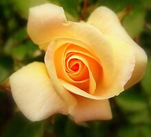 A Summer Rose by Stan Owen