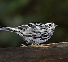 Black And White Warbler In Full Color by Gary Fairhead